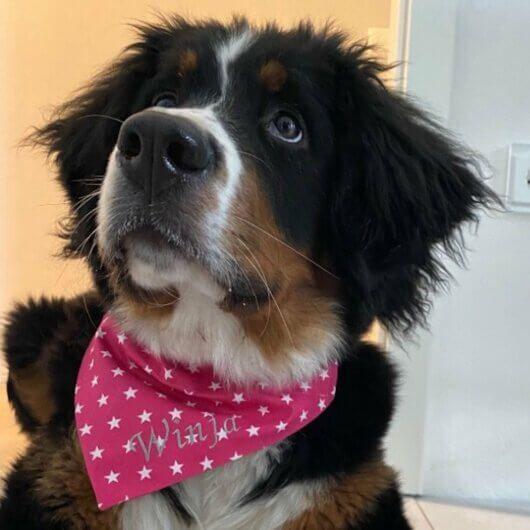 Hundehalstuch leuchtendeSterne auf Pink