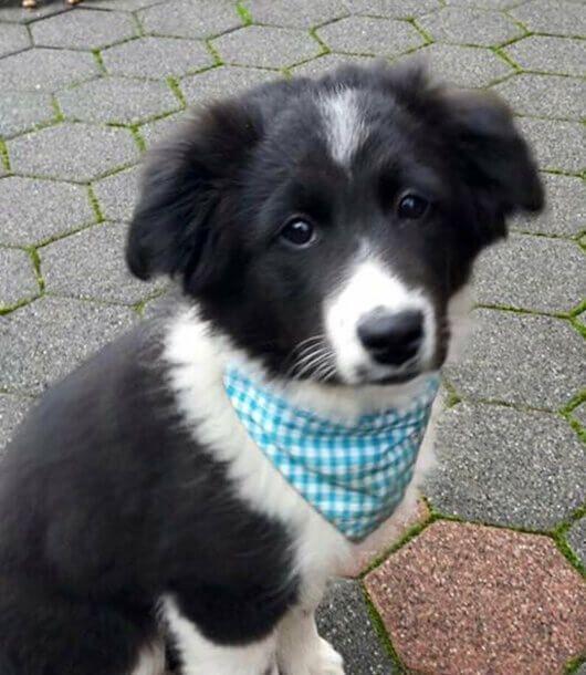 Hundehalstuch Vichykaro – der Klassiker in Türkis